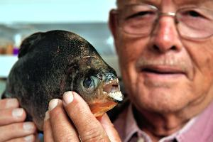 CHRIS MONROE / SPECIAL TO THE RECORD http://www.northjersey.com/news/Piranha_cousin_hooked_in_Passaic.html Tom Boylan of Passaic with the pacu he caught in Third Ward Park. The fish, native to the Amazon, is considered an invasive species.