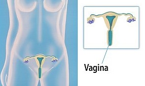 Just HALF of women can locate the vagina on a diagram of the female reproductive system