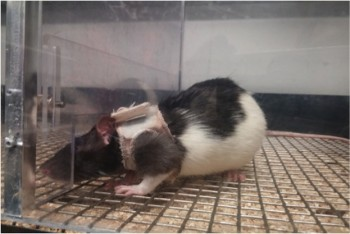 female rats wearing lingerie