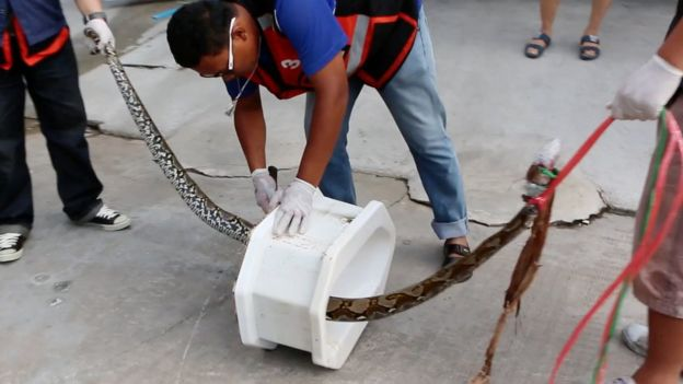 Python In Thai Toilet Bites Mans Penis, Python Still On The Loose.