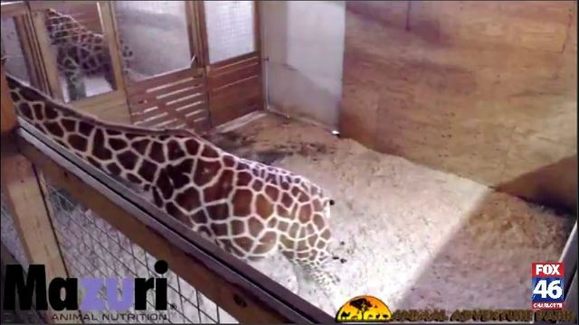 Giraffe stream flagged on YouTube for 'nudity & sexual content', park says